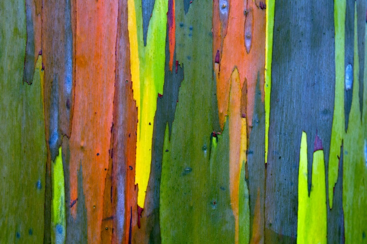 Bark of the Rainbow Eucalyptus